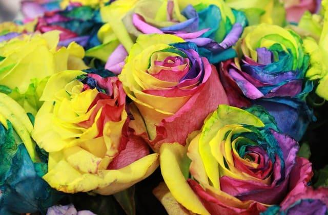 gambar mawar pelangi yang elok