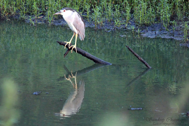Black-crowned Night-Heron - BPS