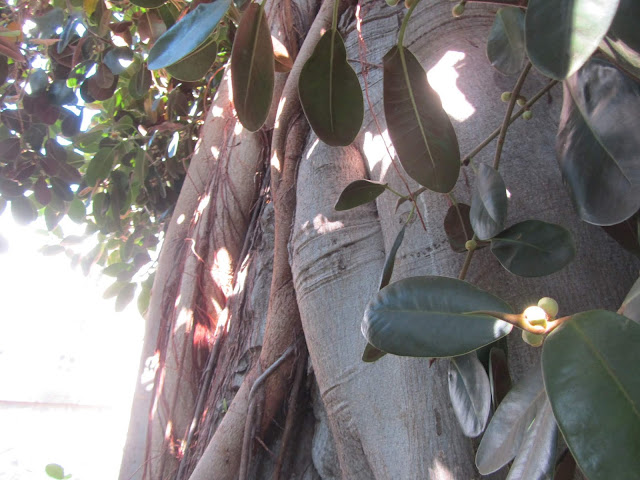 Tronco Ficus rubiginosa