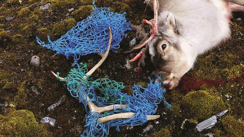 Rena morta com rede presa nas hastes