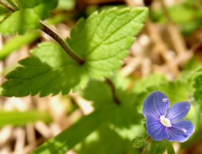 Flores azules de Veronica chamaedrys