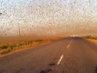 Jutaan Belalang Serang Peternakan dan Hancurkan Tanaman