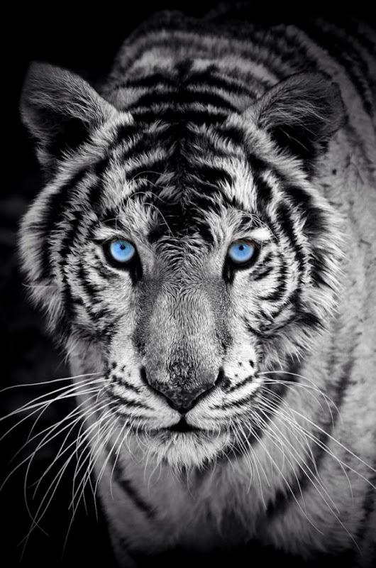 Tiger Iphone Wallpaper Best Wallpapers Hd Gallery