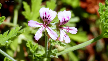 Pelargonium capitatum y el jardinero de la Malvarrosa