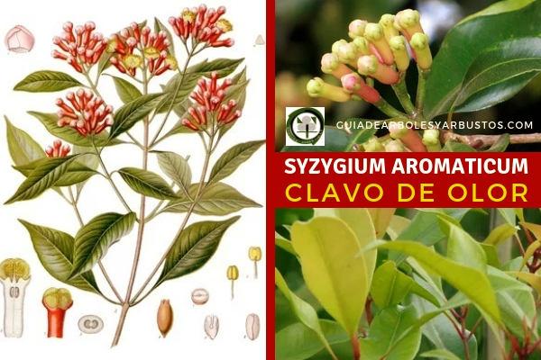 Syzygium aromaticum, Clavo de Olor, se trata de una planta propia de climas subtropicales