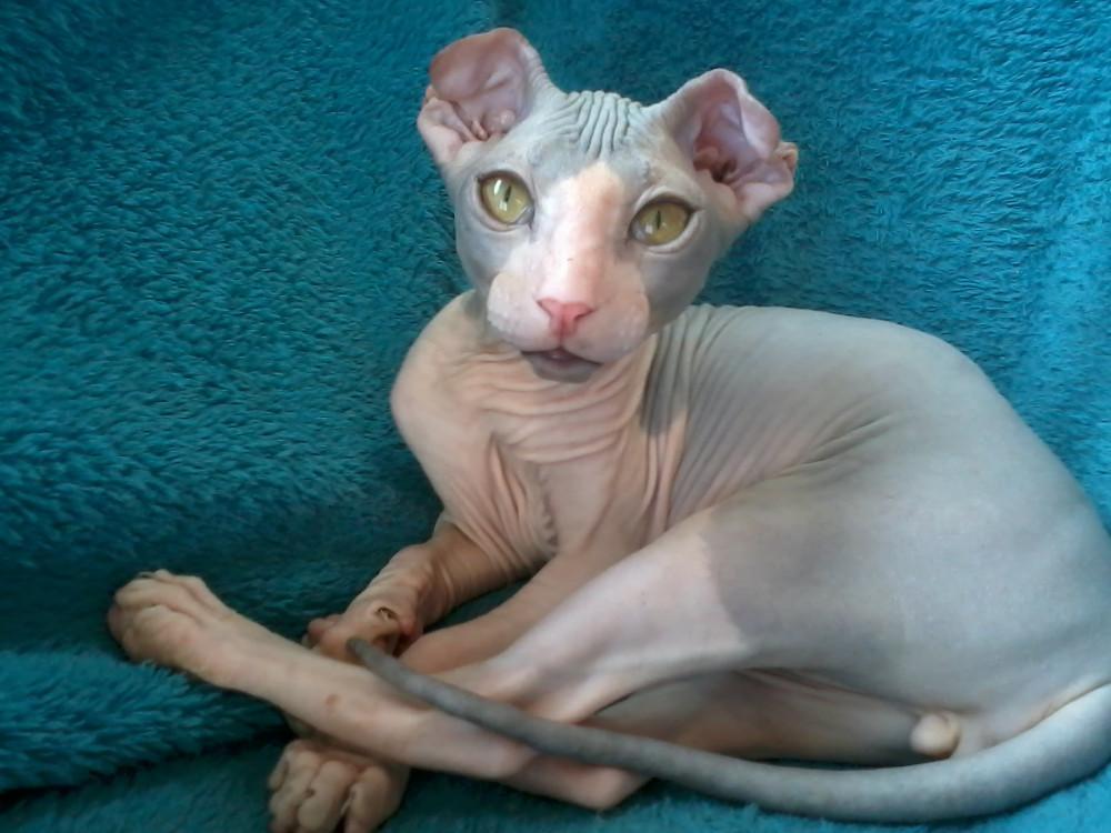 Kucing Teraneh Dan Terunik Yang Ada di Dunia