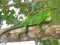 Ini Dia Perbedaan Bunglon dan Iguana