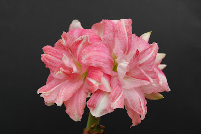 AMARYLLIS Double Rozetta