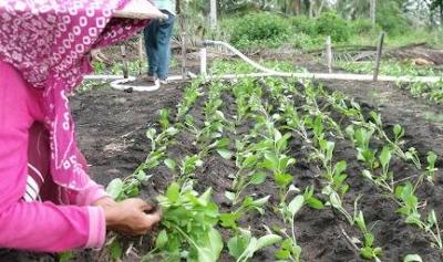 Proses Penanaman Caisim Langsung Di Tanah