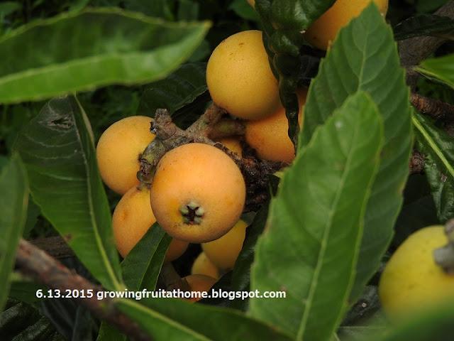 収穫期を迎えたビワの果実