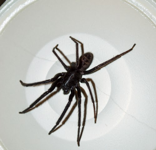 bristol tube web spider