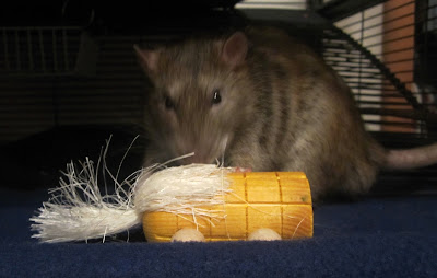 Delmar sniffing his Roll N Corn from CritterWARE