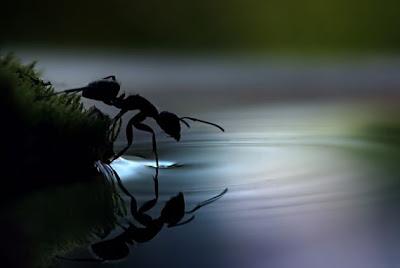 Hormiga en el agua