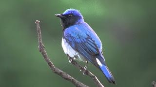 Suara Burung Sikatan Biru-Putih/Sulingan Laut