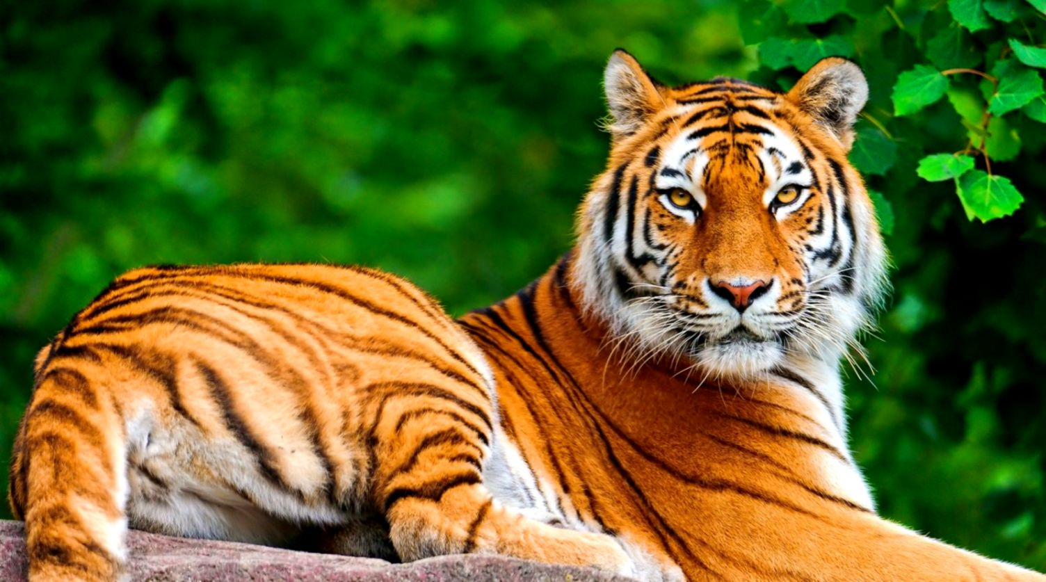 Prime Animal Wallpaper Tiger Free Desktop Hd Wallpapers Lib Download Free Architecture Designs Embacsunscenecom