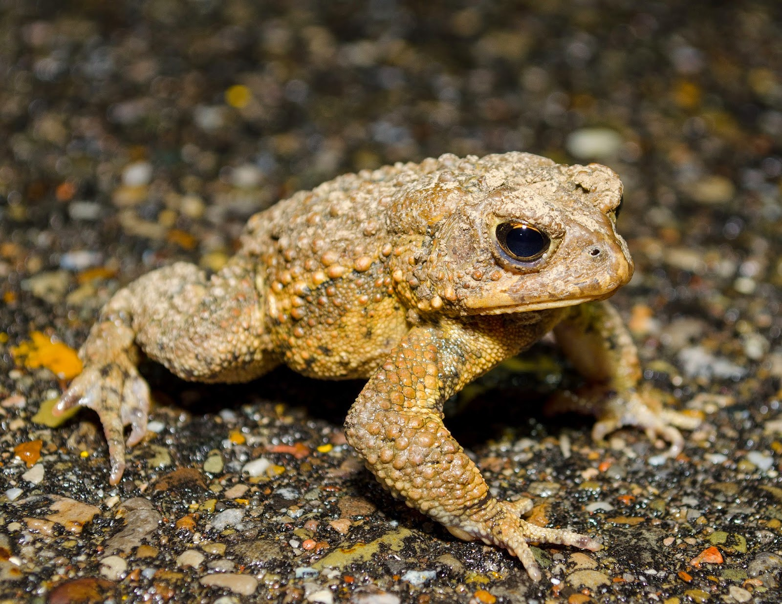 American Toad, Anaxyrus americanus