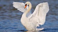 Swan pictures_Cygnus Coscoroba