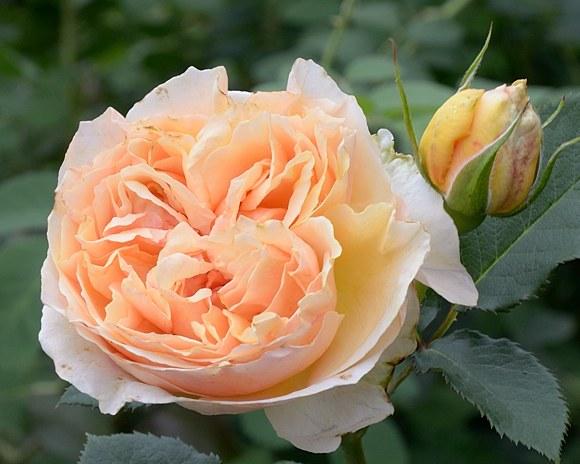 Genevieve Orsi сорт розы фото