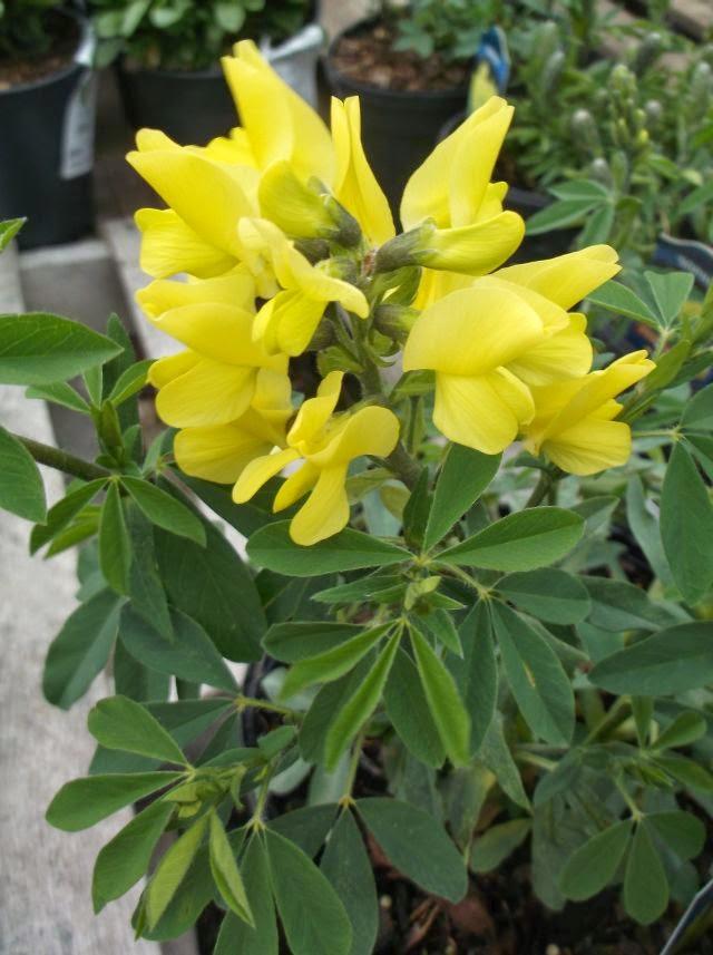 Future Plants By Randy Stewart Thermopsis Carolina Lupine