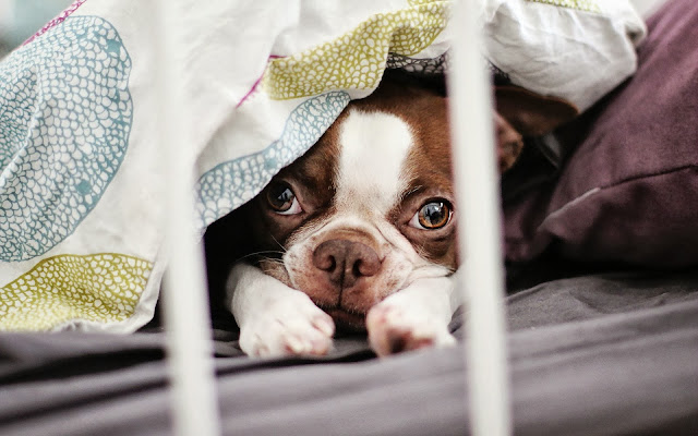 Hond verstopt onder een laken