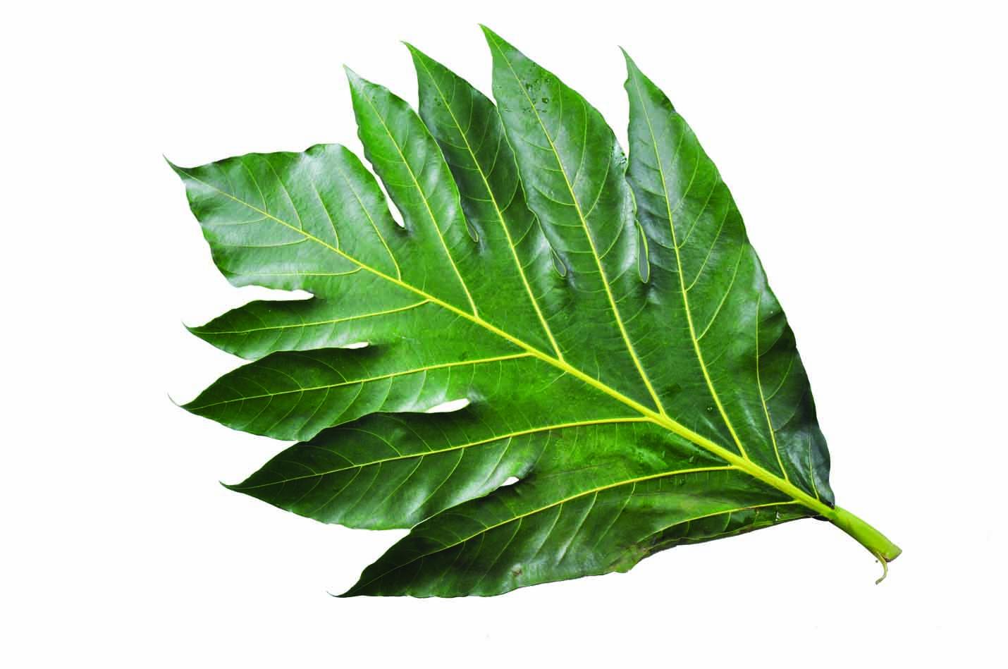 Manfaat daun sukun untuk kesehatan