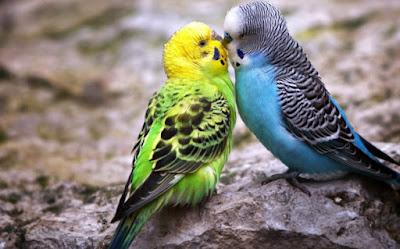 Kumpulan Suara Burung Parkit MP3 Lengkap