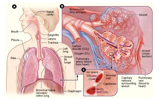diseases of respiratory system pneumonia biology essay There are many conditions and diseases that afflict the respiratory system respiratory conditions, diseases  disease is a form of lobar pneumonia caused.