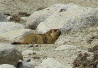 Marmota himalayana, Himalayan Marmot