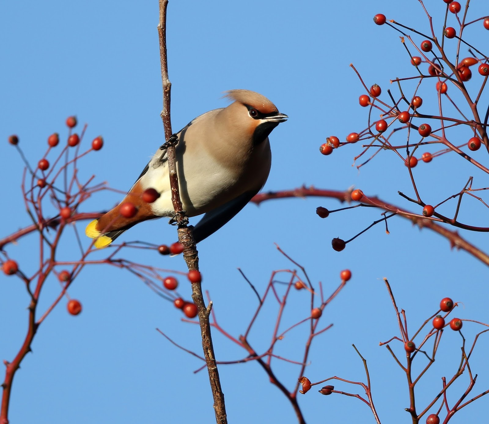 "Birders in Boxers: ""They're getting closer"", Waxwings that ..."
