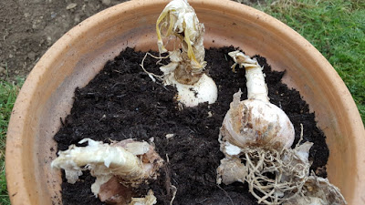 Three Nerine sarniensis bulbs in a pot
