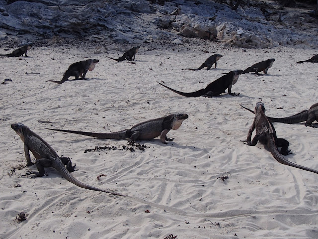 Leaf Cay iguanas