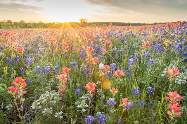 Bluebonnets and Indian Paintbrush along FM 1181 near Telico, TX