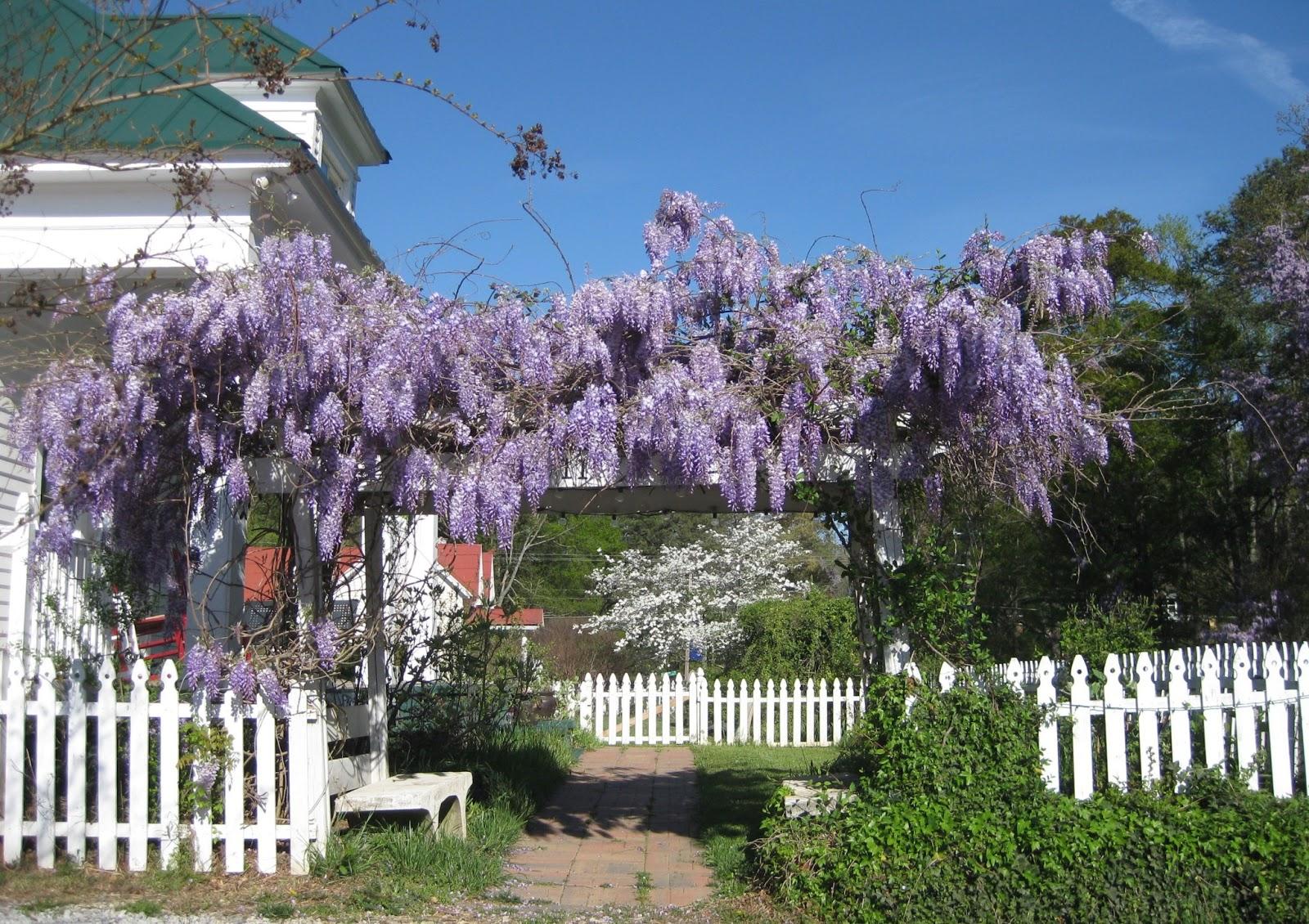 Garden Walk Buffalo Through The Garden Gates 6: Good Things Happened: Wisteria, Music On The Main Street