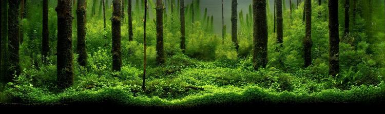 Bố cục hồ thủy sinh rừng dùng lũa thẳng