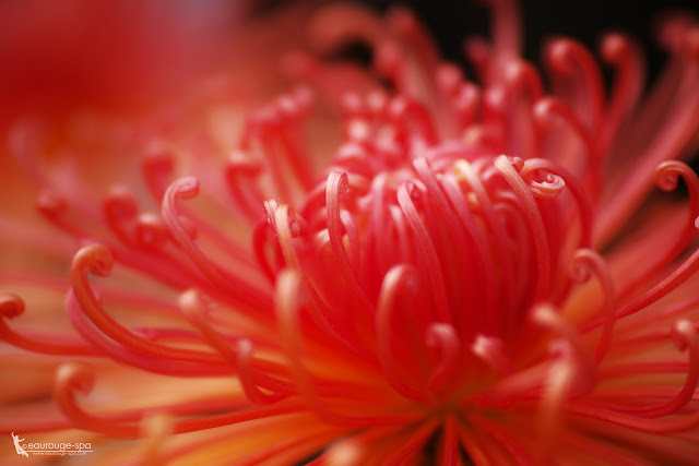 chrysanthemum -another shots-