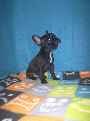 Benedict Family Frenchies: Available Puppies