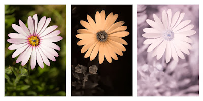 Comparison of a Osteospermum ecklonis flower photographed in visible light (left), ultraviolet light (middle), and infrared light (right)