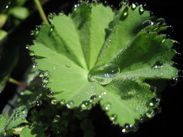 virak biljka
