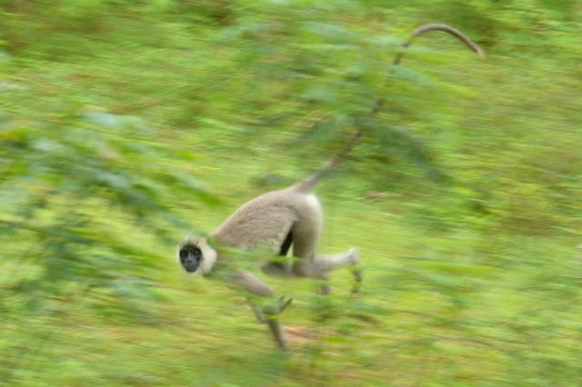 Monkey at udawalawe national park