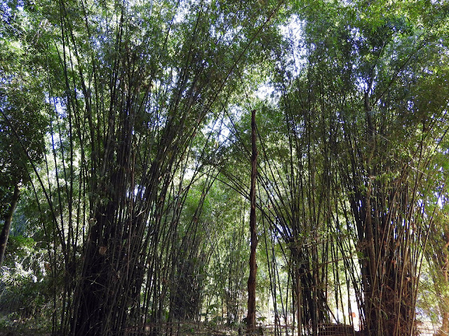 bamboo, sunlight, assam, northeast, india