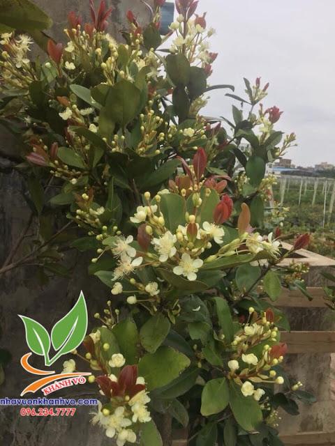 CHERRY -Cơ hội làm giàu từ loại trái cây được ưa chuộng số 1 thế giới!