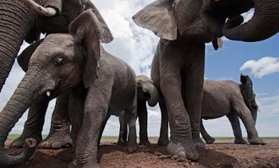 Gajah, Fakta Unik Gajah, Gambar Gajah, Keunikan Gajah,