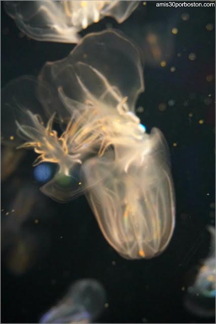 Medusa Mnemiopsis Leidyi en el Acuario de Boston