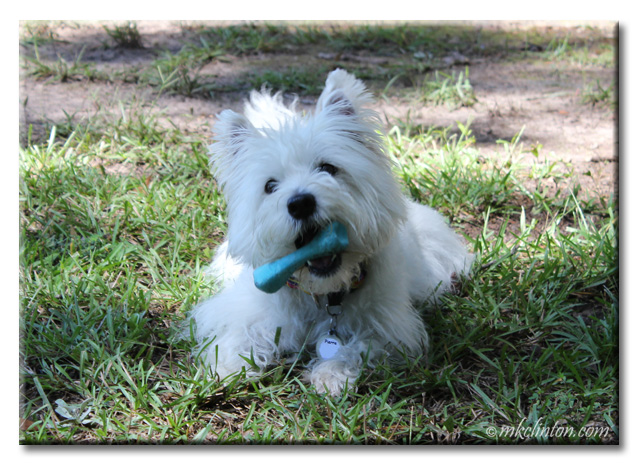 Pierre Westie with BeCo bone in his mouth