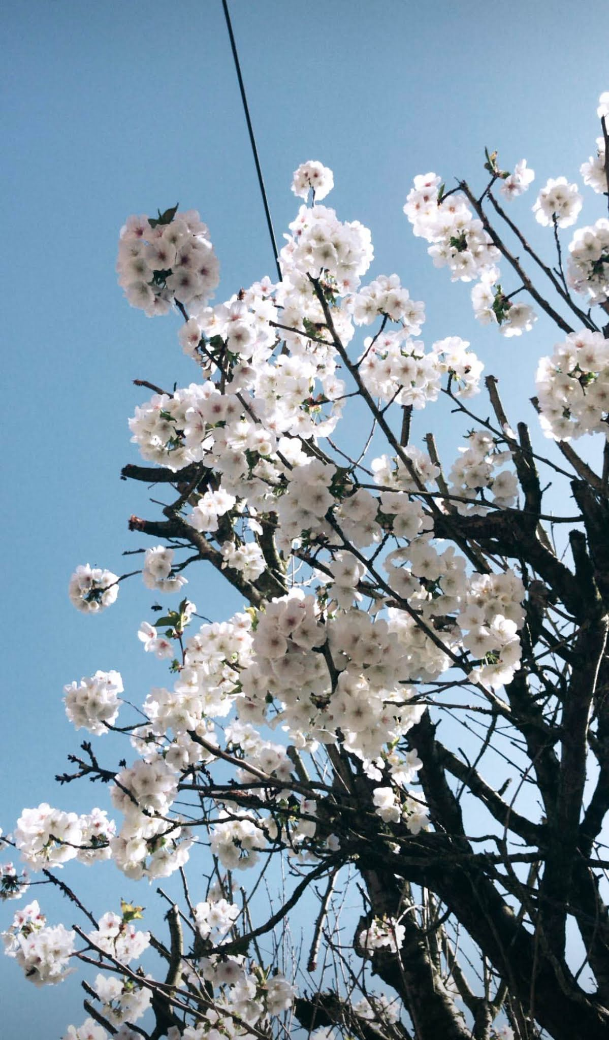 Blue skies and blossom trees