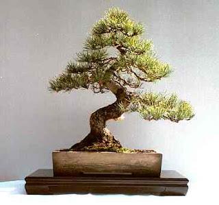 Informal upright Bonsai style (Moyogi)
