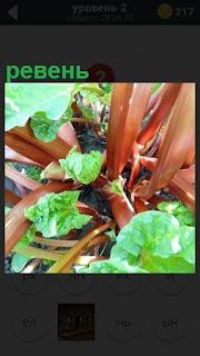 На грядке выросли овощи, одним из которых является ревень
