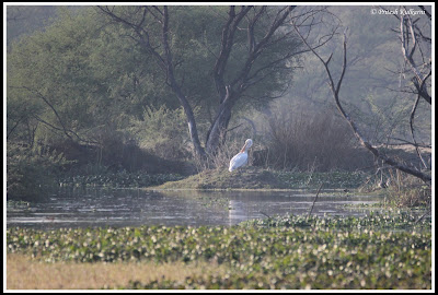 Pelican at Bharatpur...Record shot
