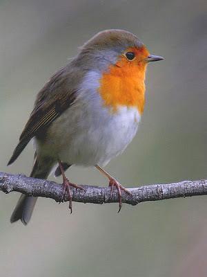 Pit-roig sobre una rama