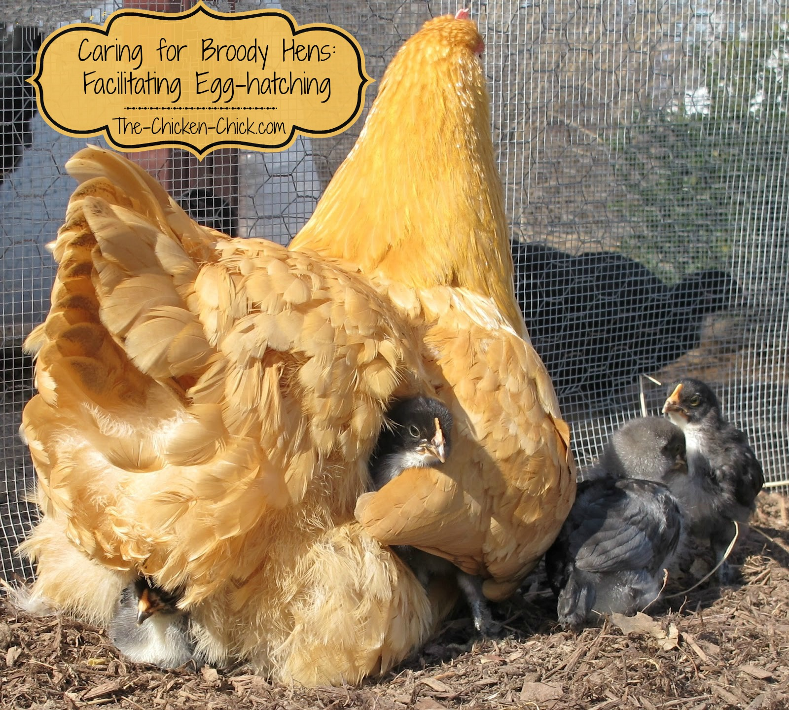 Caring For Broody Hens Facilitating Egg Hatching The